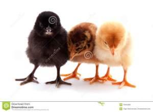 Los pollos se van de trío.
